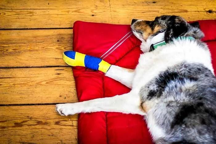 Hahahaha. People think I'm a Swedish dog now! Here I am sleeping after my surgery.