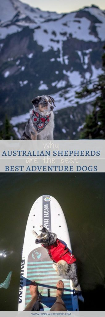 With their intelligence, athleticism, and adaptability, the Australian Shepherd makes a stellar adventure dog. Come see our list as to why we think they're the best adventure dog on the planet.