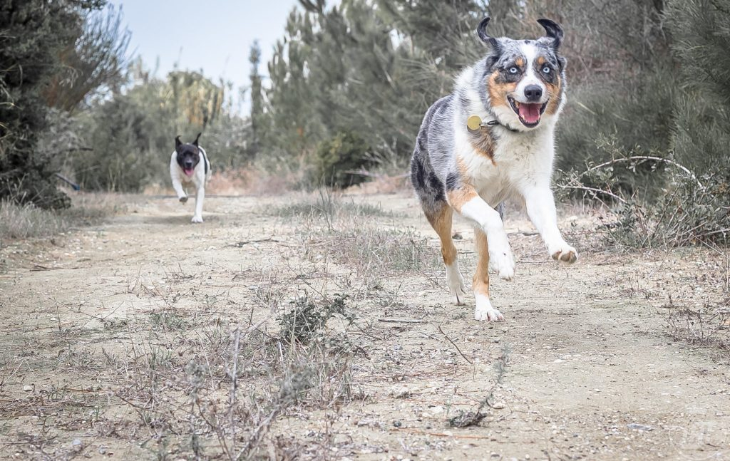 dog trail etiquette with Sora running.