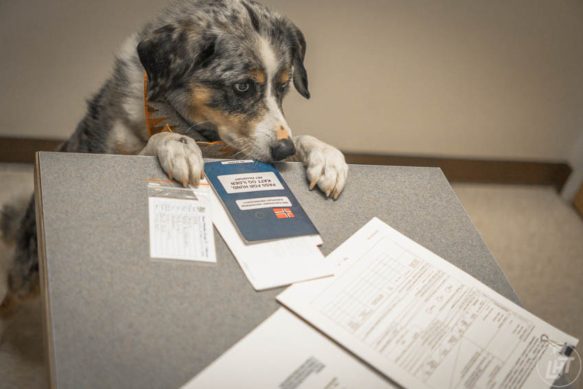 Most airlines require proof of up-to-date rabies vaccination and a health certificate before flying with a large dog.