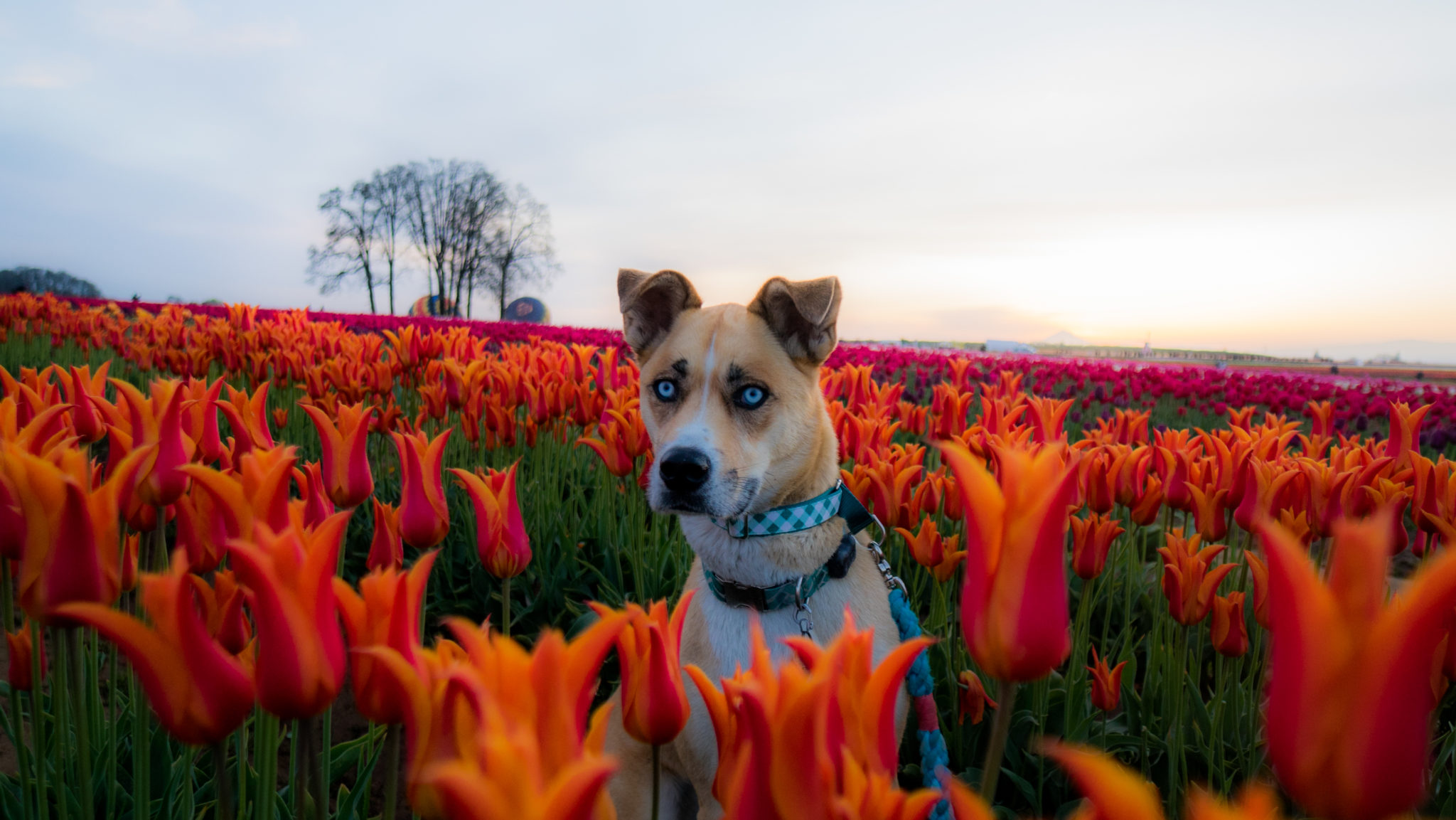 Take Your Dog To Wooden Shoe Tulip Fest For Some Seriously Great Photo Ops