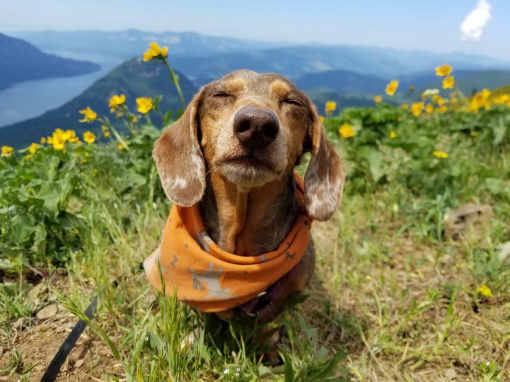 Gretel enjoys the sunshine and a break on Dog Mountain, a classic wildflower hike near Portland.