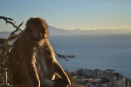 gibraltar monkey with view
