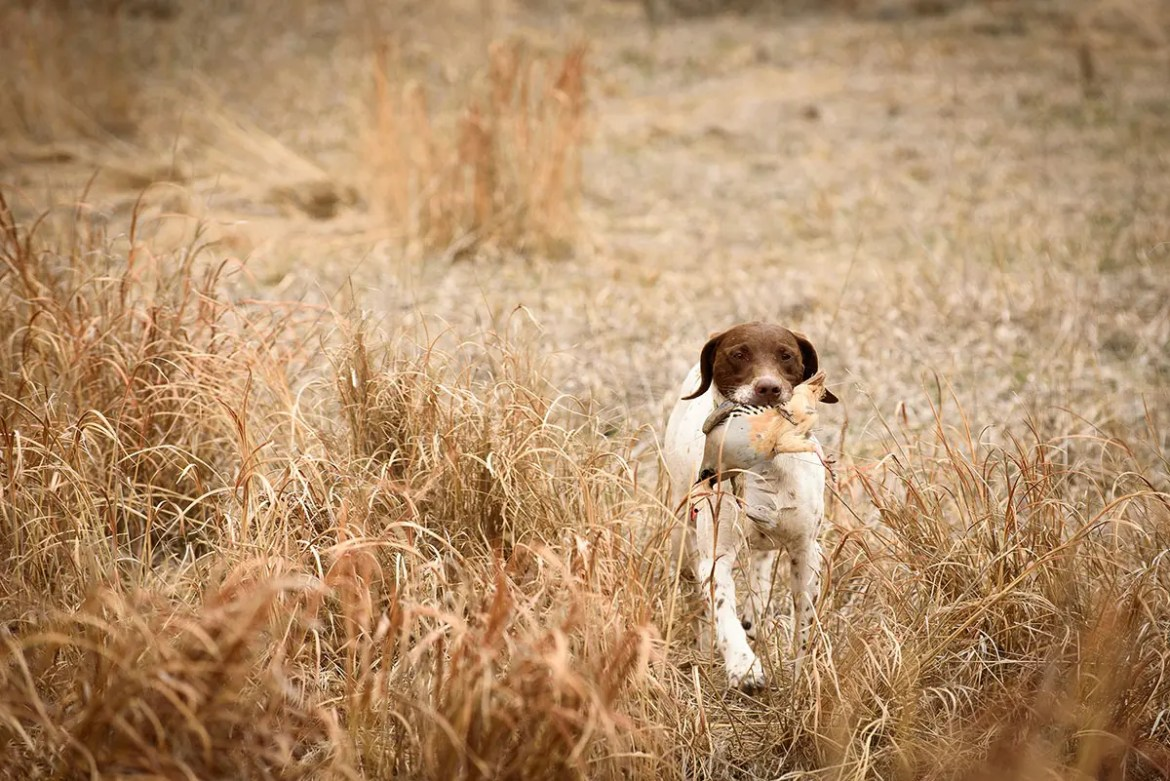 Hunting dog with pheasant in mouth