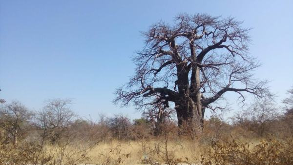 An amazing baobab tree out in the bush.