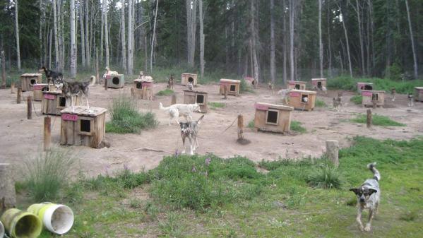 Alaskan Husky sled dogs in Whitehorse, Yukon Territory, Canada