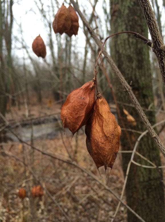 Seed pods rattling in the wind
