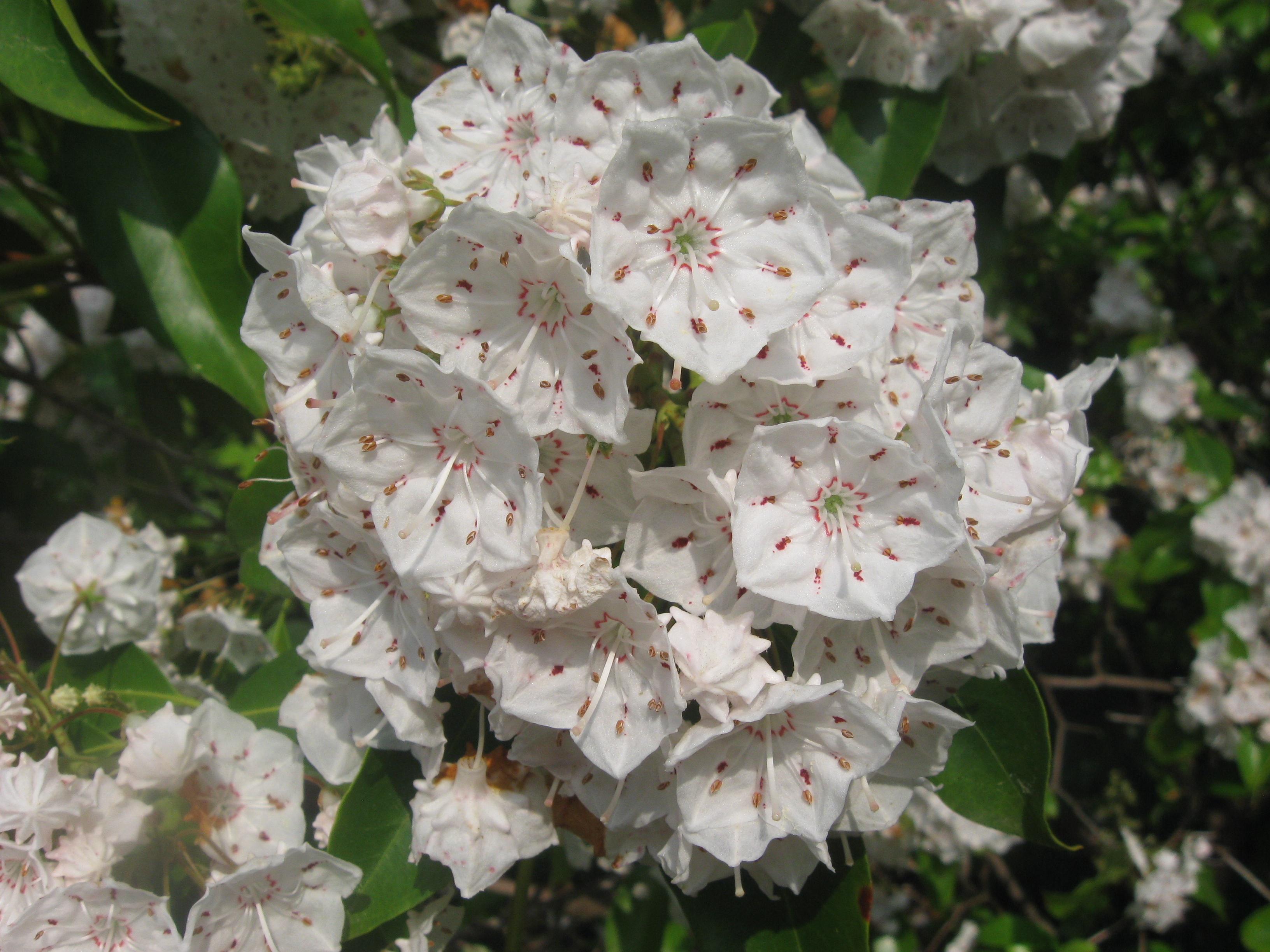 Mountain-laurel   Longwood Gardens