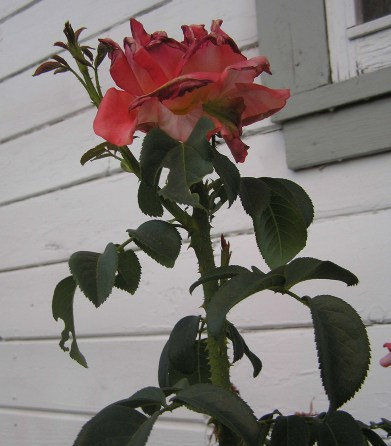 Rose (by Jessica)