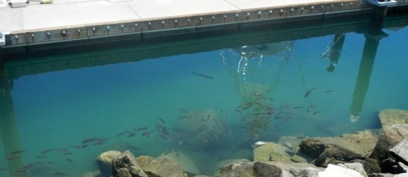 Fish at the marina.