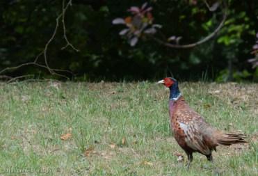 Pheasant 20130823-14