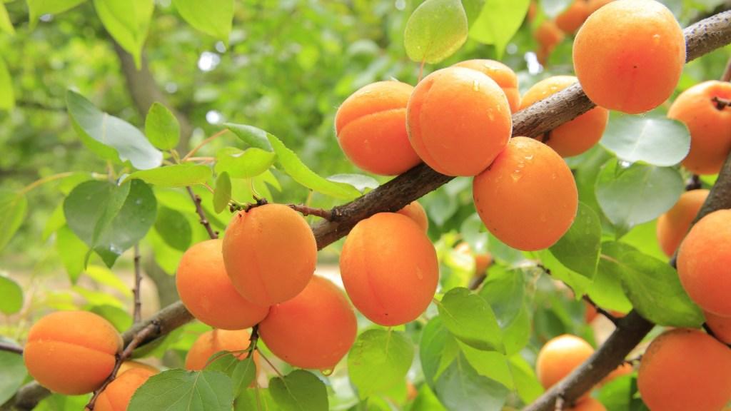 aprikoos