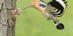 كل المعلومات عن طائر الهدهد – upupa