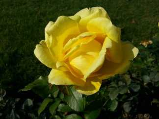 mopana-October-roses-02