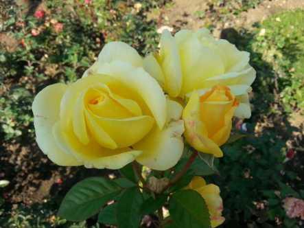 mopana-October-roses-04