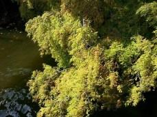 mopana-autumn-tree-16