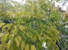 mopana-autumn-tree-15