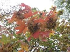 mopana-autumn-tree-14