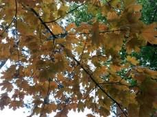 mopana-autumn-tree-12