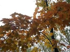 mopana-autumn-tree-10