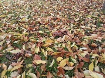 mopana-autumn-leaves-01