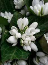 mopana-beautiful-white-snowdrops-02