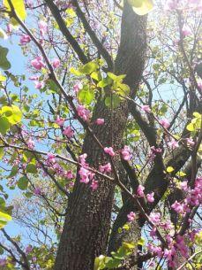 mopana-beautiful-pink-flowers-02