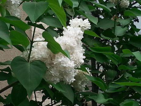 mopana-beautiful-white-lilac-05