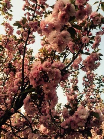 mopana-Sakura- festival-01