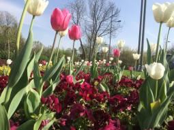 mopana-tulip-04