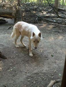 mopana-the- white-wolf-06