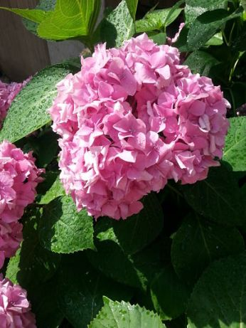 mopana-beautiful-pink-hydrangea-04