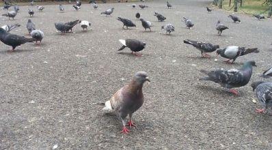 mopana-pigeons-lunch-time-02