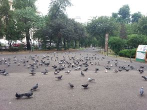 mopana-pigeons-lunch-time-03