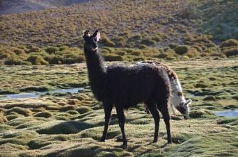 The lamas