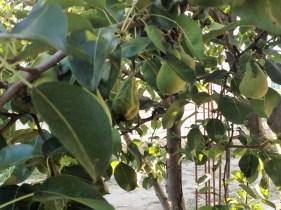 dardhë [pear]