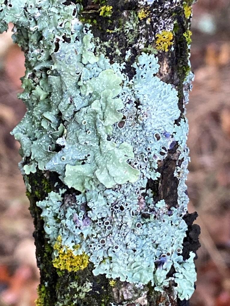 Wet lichens…