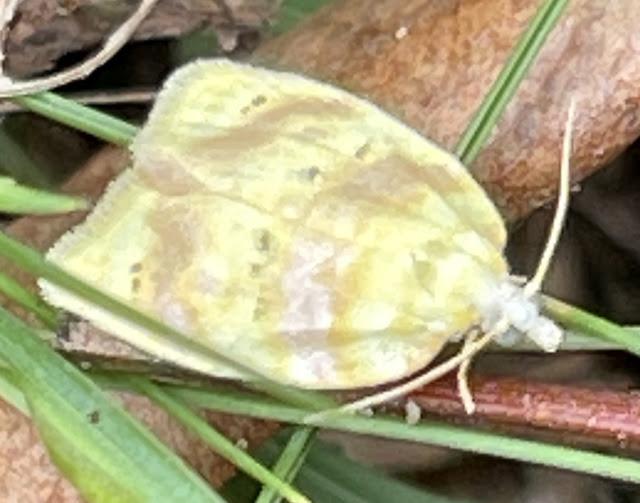 Oak Leaftier Moth