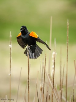 Red winged black bird calling