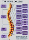 spinal-organ-chart-softened-746x10241