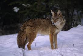 Tips And Tools Tuesday - A Coyote, An Opossum, and A Bat, Oh My!