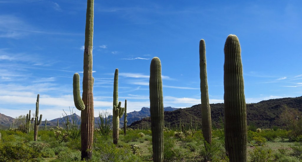 Wildflowers and Cactus Plants at Organ Pipe Cactus National Monument in Arizona