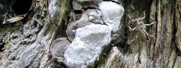 Stonefly shucks on stump :: Skagit River, British Columbia