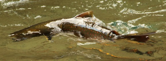 Dolly Varden on the Skagit River :: The LOONS Flyfishing Club