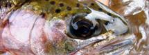 Upper Dean cuttbow head by Richard Mayer :: The LOONS Flyfishing Club