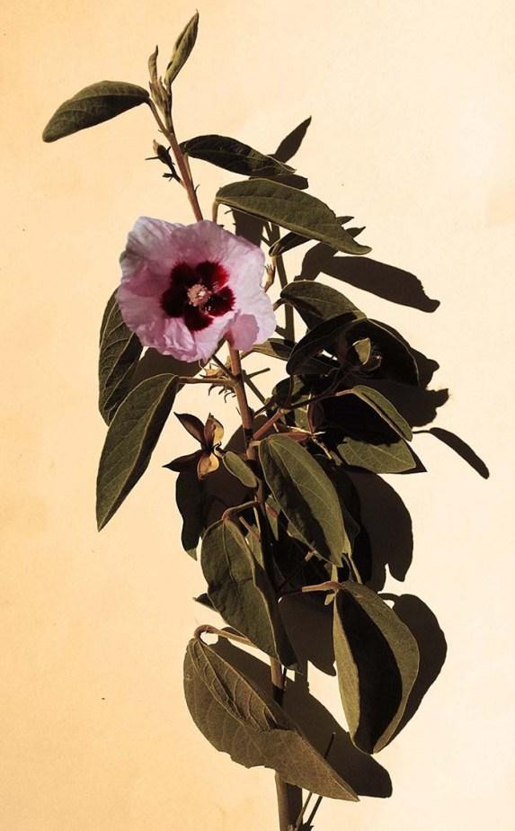 sturts-desert-rose-statent-state-flower