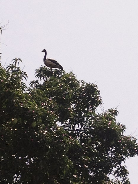 Balancing act. Big bird on a small branch of a tree? about to fall...but it rested quite well