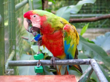 Rainbow Macaw - Would be killed in the wild b/c only Blue OR Red exist naturally. They act like gangs!