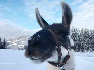 Wandern mit Lamas in Tirol