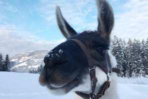 Slow Travel mit Loriot und Co. Wandern mit Lamas in Tirol.